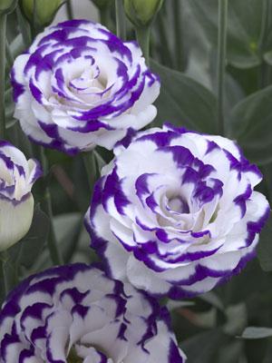 人気の「ミンク」に紫の覆輪が入った「ミンクマリン」が登場