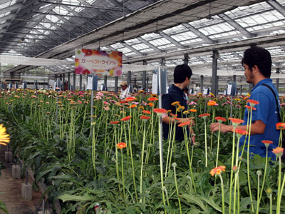 ガーベラトライアルで育種3社の新品種など展示