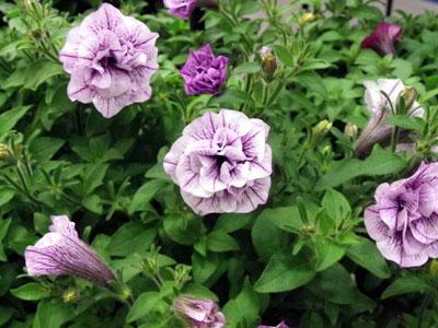 小輪ペチュニア「ギュギュ」の新色、八重咲きの「ダブルラベンダー」